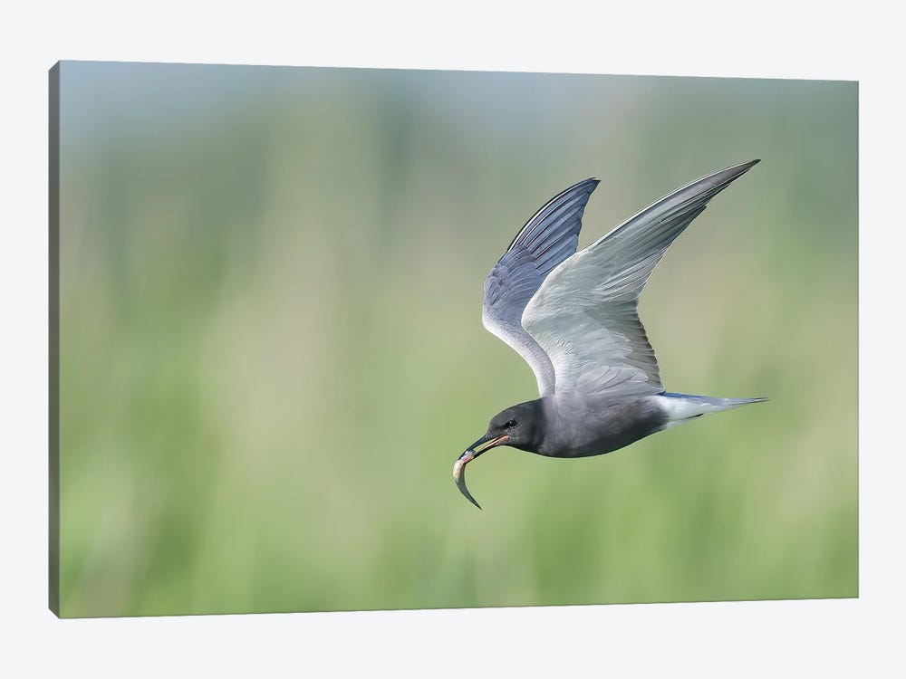 Black Tern Bringing Fish 1-piece Canvas Artwork