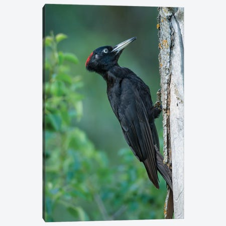 Black Woodpecker Looking For Food Canvas Print #PSM12} by Pascal De Munck Canvas Art