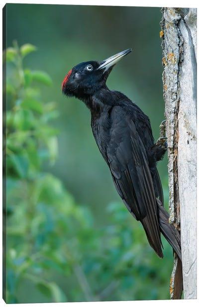 Black Woodpecker Looking For Food Canvas Art Print