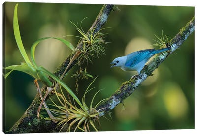 Blue Grey Tanager Sunrise Canvas Art Print