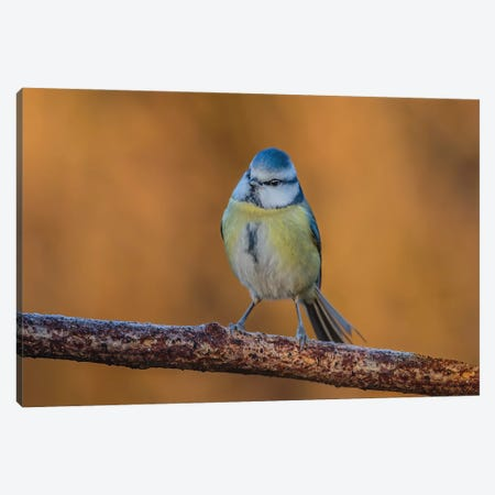 Blue Tit Sunrise Canvas Print #PSM15} by Pascal De Munck Canvas Print