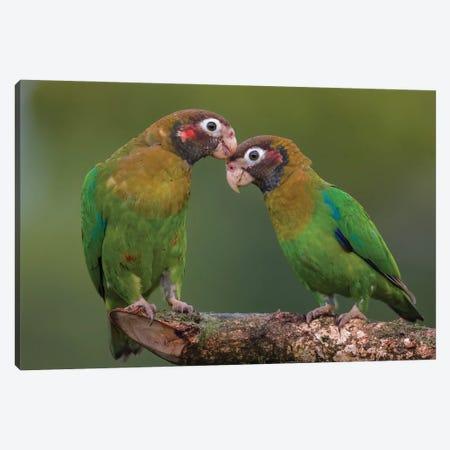 Brown Hooded Parrot Courtship Canvas Print #PSM16} by Pascal De Munck Art Print