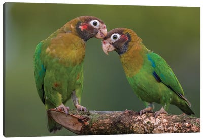 Brown Hooded Parrot Courtship Canvas Art Print