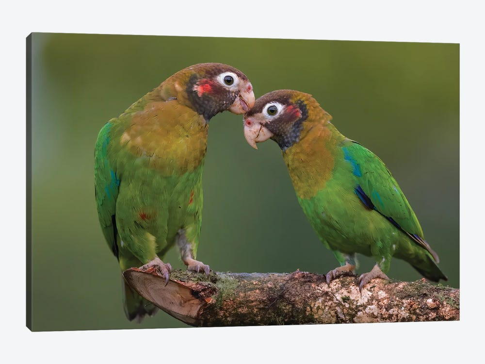 Brown Hooded Parrot Courtship by Pascal De Munck 1-piece Canvas Art