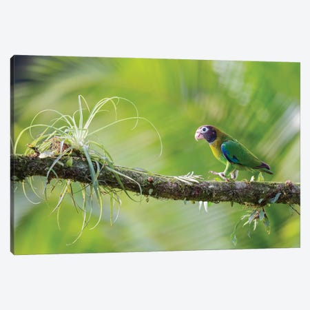 Brown Hooded Parrot In Green Canvas Print #PSM17} by Pascal De Munck Art Print