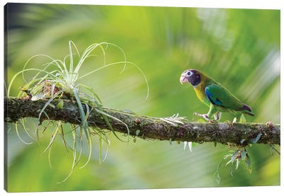 Brown Hooded Parrot In Green Canvas Art Print