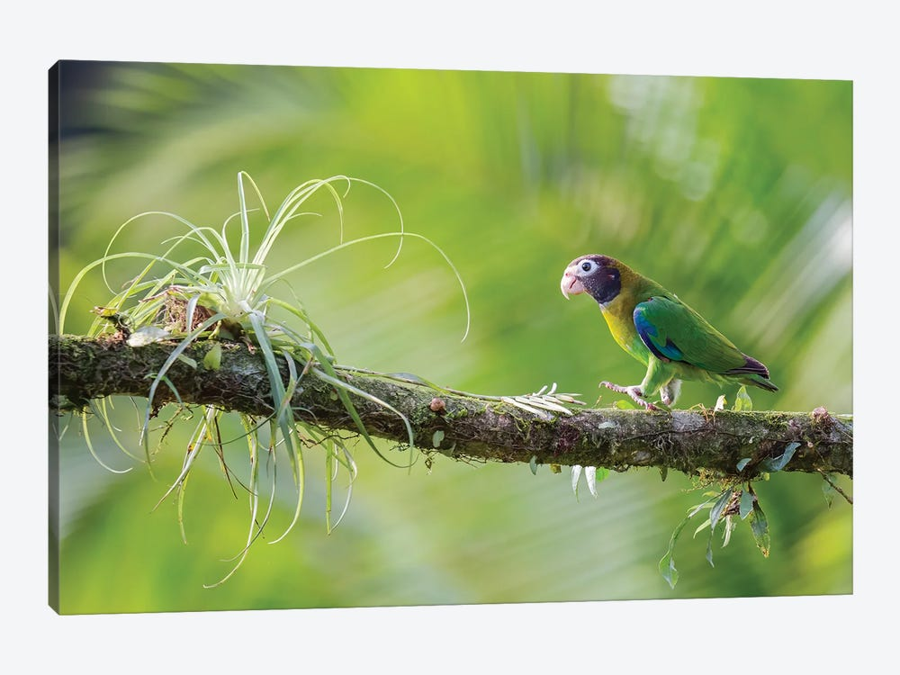 Brown Hooded Parrot In Green by Pascal De Munck 1-piece Art Print