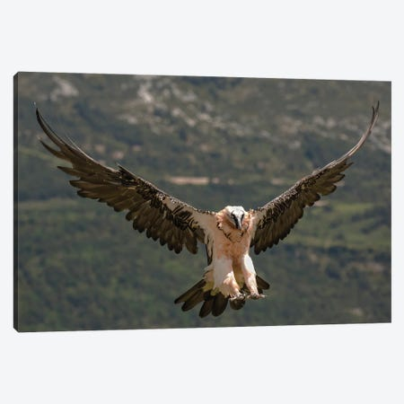 Bearded Vulture Landing Canvas Print #PSM1} by Pascal De Munck Canvas Wall Art
