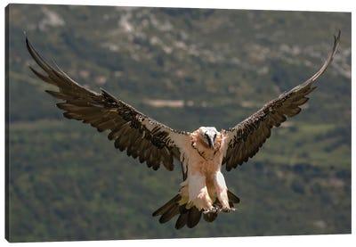 Bearded Vulture Landing Canvas Art Print