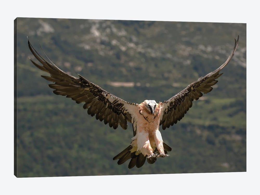 Bearded Vulture Landing by Pascal De Munck 1-piece Canvas Art