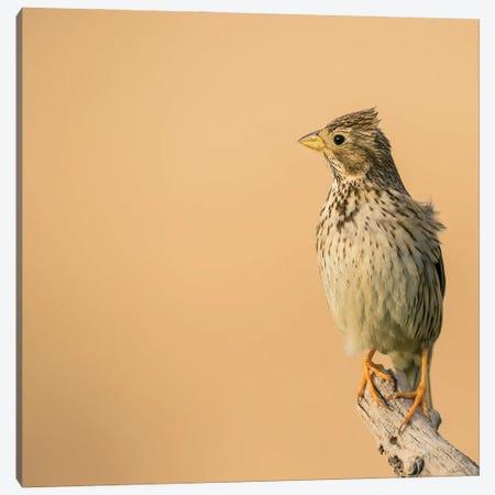 Corn Bunting Posing Canvas Print #PSM21} by Pascal De Munck Art Print