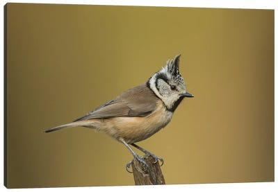 Crested Tit Posing Canvas Art Print