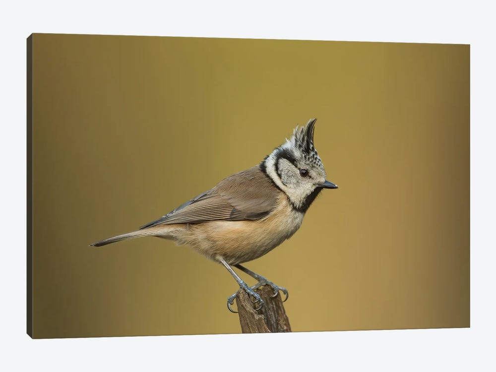 Crested Tit Posing by Pascal De Munck 1-piece Canvas Art Print