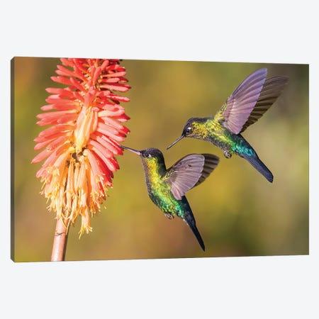 Fiery Throated Hummingbirds Hanging Around Flower Canvas Print #PSM23} by Pascal De Munck Art Print