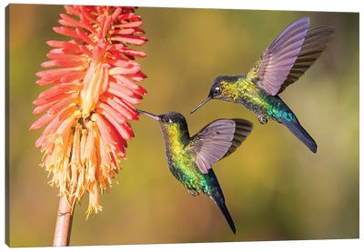 Fiery Throated Hummingbirds Hanging Around Flower Canvas Art Print