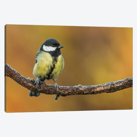 Great Tit Sunrise Canvas Print #PSM28} by Pascal De Munck Canvas Print