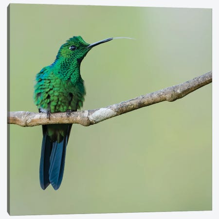 Green Crowned Brilliant Sticking Tongue Out Canvas Print #PSM29} by Pascal De Munck Canvas Art Print