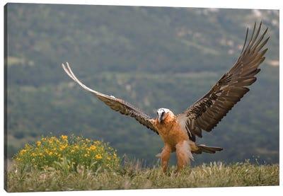 Bearded Vulture Open Wings Canvas Art Print