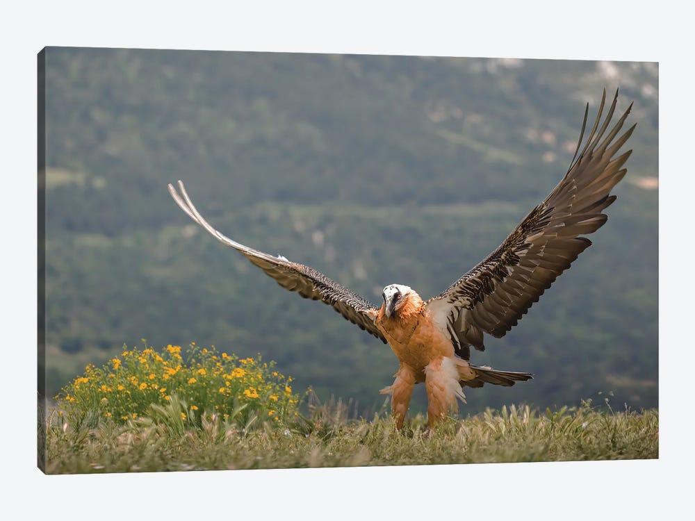 Bearded Vulture Open Wings by Pascal De Munck 1-piece Art Print