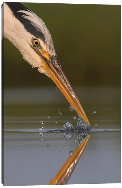 Grey Heron Splash Canvas Art Print