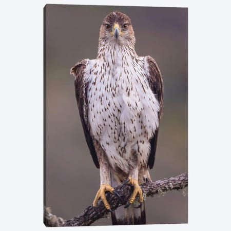 Bonelli'S Eagle On The Watch Canvas Print #PSM31} by Pascal De Munck Canvas Wall Art
