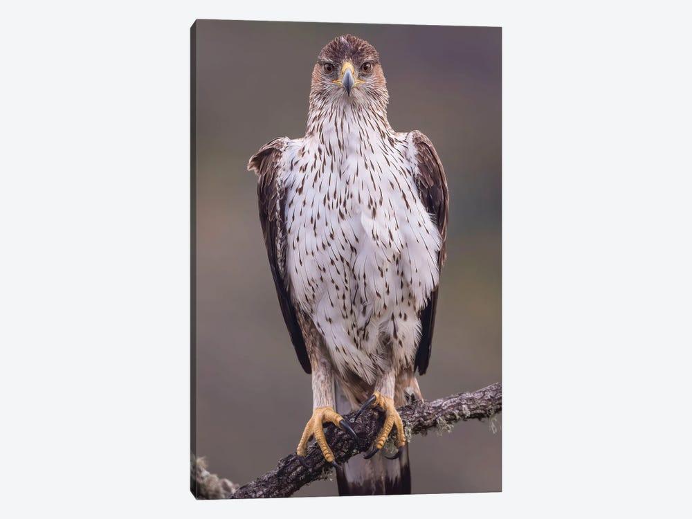 Bonelli'S Eagle On The Watch by Pascal De Munck 1-piece Canvas Art Print