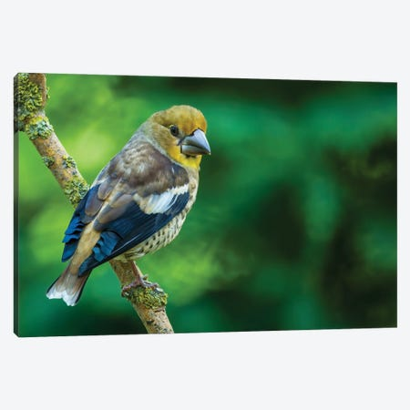 Hawfinch In Green Canvas Print #PSM34} by Pascal De Munck Canvas Print