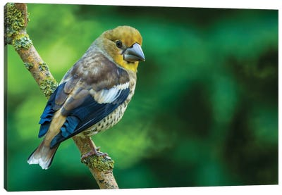 Hawfinch In Green Canvas Art Print