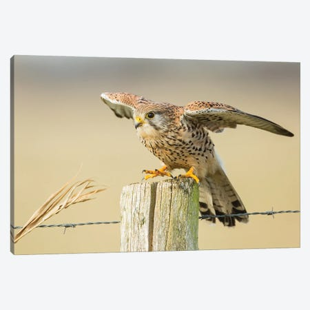 Kestrel Open Wings Canvas Print #PSM36} by Pascal De Munck Canvas Art Print