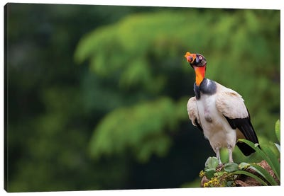King Vulture Looking Up Canvas Art Print