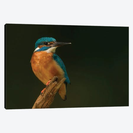 Kingfisher In Black Canvas Print #PSM38} by Pascal De Munck Canvas Art