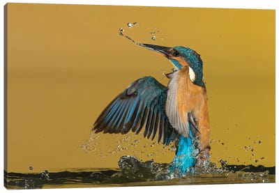 Kingfisher Coming Out The Water Canvas Art Print