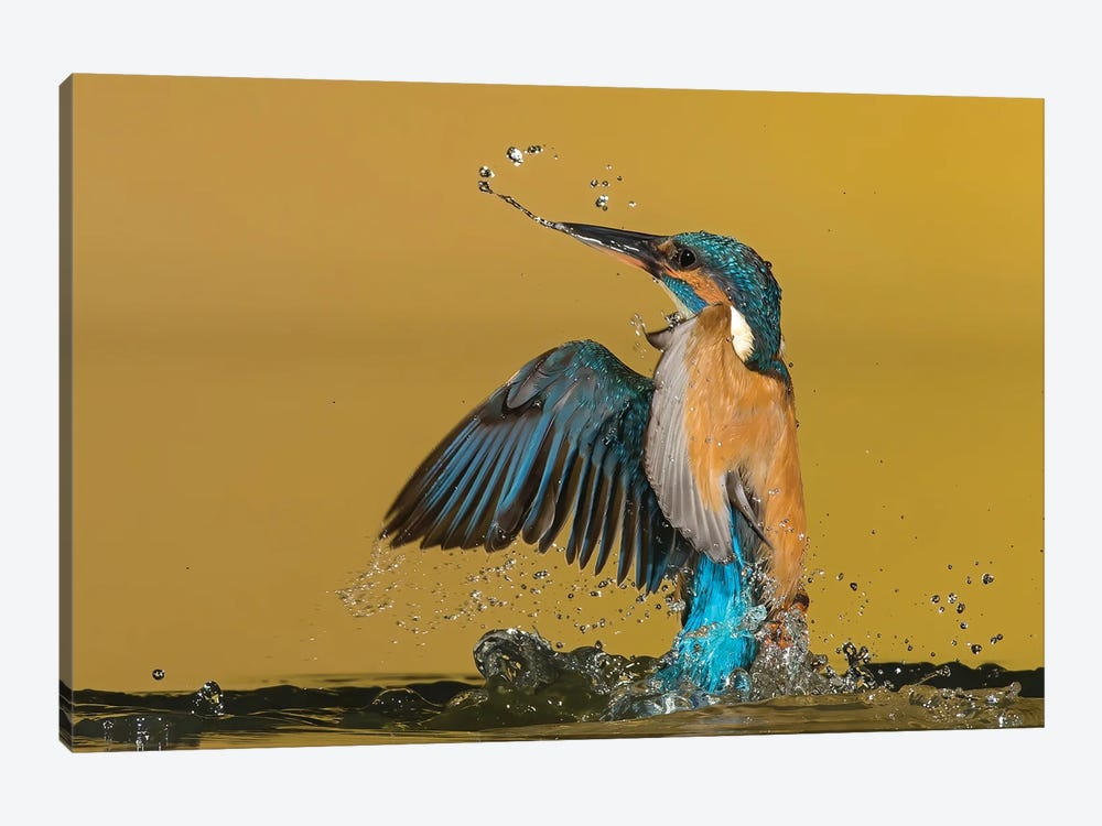 Kingfisher Coming Out The Water by Pascal De Munck 1-piece Art Print