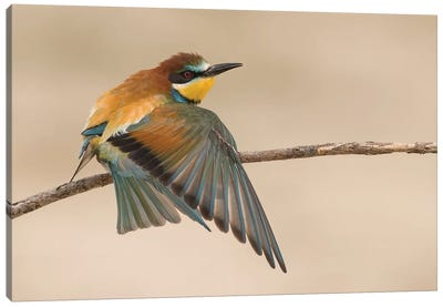 Beeeater Stretching Canvas Art Print