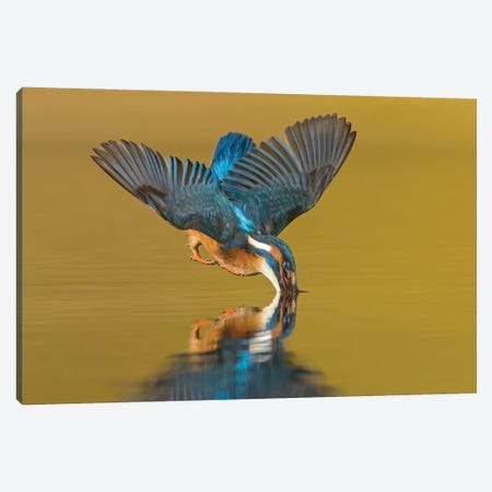 Kingfisher The Dive Canvas Print #PSM40} by Pascal De Munck Canvas Art Print