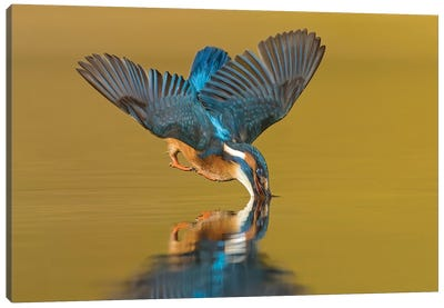 Kingfisher The Dive Canvas Art Print