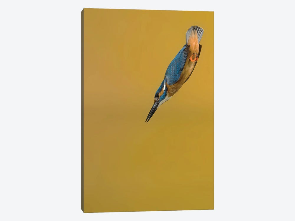 Kingfisher Arrow by Pascal De Munck 1-piece Canvas Artwork