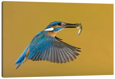 Kingfisher The Perfect Catch Canvas Art Print