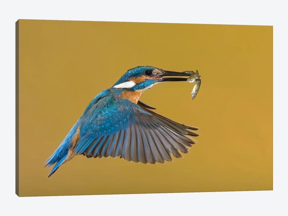 Kingfisher The Perfect Catch by Pascal De Munck 1-piece Art Print