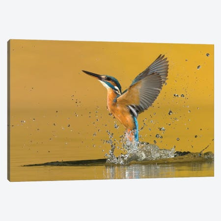 Kingfisher Open Wings Canvas Print #PSM43} by Pascal De Munck Canvas Art Print