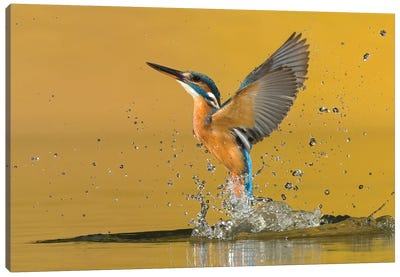 Kingfisher Open Wings Canvas Art Print