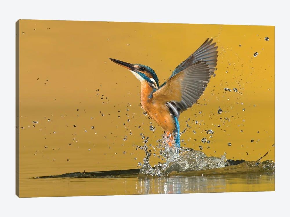 Kingfisher Open Wings by Pascal De Munck 1-piece Canvas Artwork