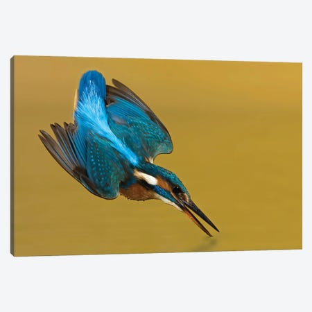 Kingfisher Touchdown Canvas Print #PSM44} by Pascal De Munck Canvas Wall Art