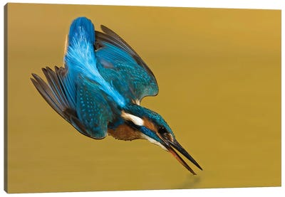 Kingfisher Touchdown Canvas Art Print