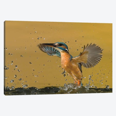 Kingfisher Splash Canvas Print #PSM45} by Pascal De Munck Canvas Artwork