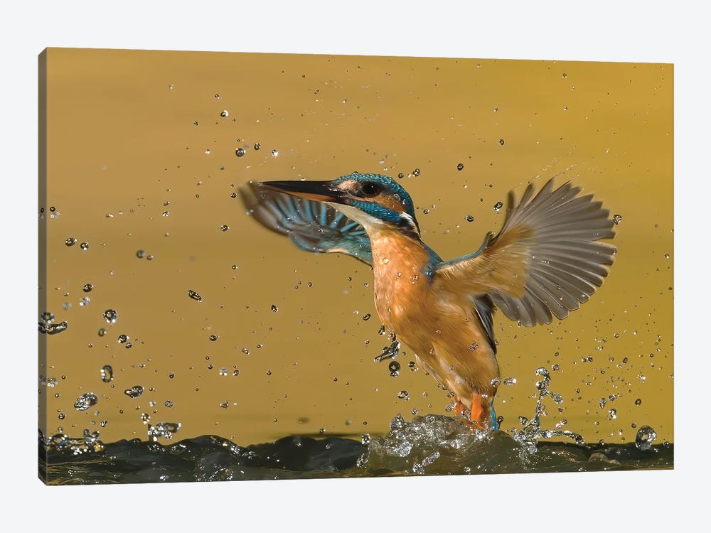 Kingfisher Splash by Pascal De Munck 1-piece Canvas Artwork