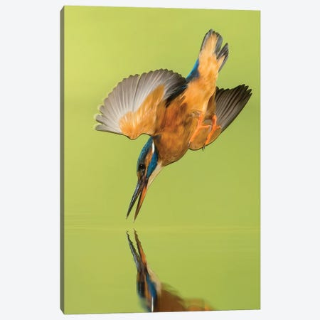 Kingfisher Coming Down Canvas Print #PSM46} by Pascal De Munck Canvas Art