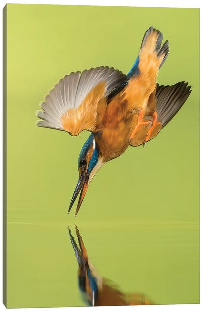 Kingfisher Coming Down Canvas Art Print