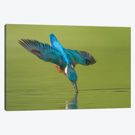 Kingfisher Near Touch Canvas Print #PSM47} by Pascal De Munck Canvas Wall Art