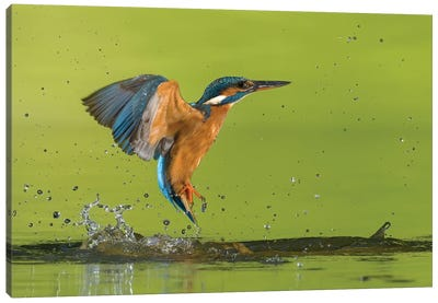 Kingfisher No Catch Canvas Art Print